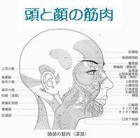 顔と頭の筋肉