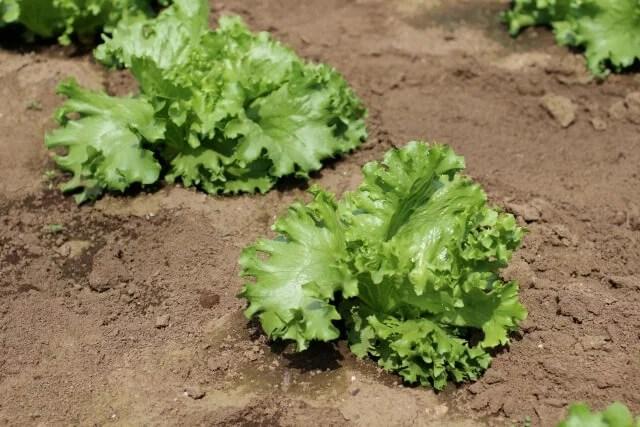 みずみずしいレタスを育ててみたくないですか?栽培の5つのポイント