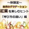 紅葉・もみじ(椛)・かえで・こうよう・黄葉の名前の違いや種類&英語では何て言う?