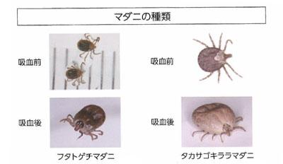SFTS媒介マダニ