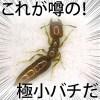 【画像】シバンムシアリガタバチに刺された跡の写真・症状・駆除対策!羽があって飛ぶ?