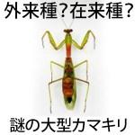【画像】外来種ムネアカハラビロカマキリの特徴・卵・幼虫・分布・見分け方は?