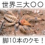 【画像】世界三大奇虫ヒヨケムシの大きさや毒はある?日本で販売・飼育は?