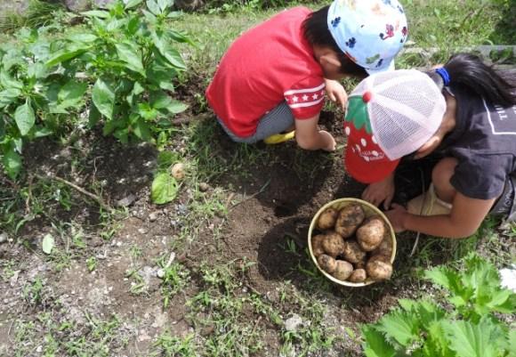 家庭菜園でジャガイモを収穫しよう!上手に育てるコツは!?