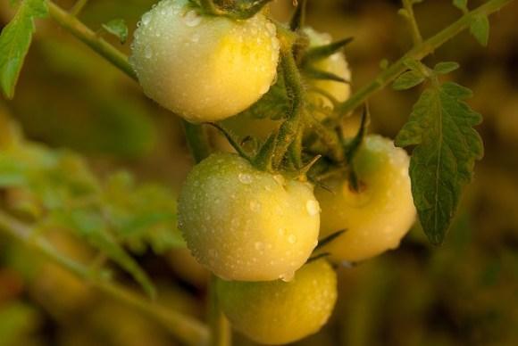ミニトマトの栽培には連作障害がつきもの?その対策法とは