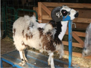 web-shearing-6