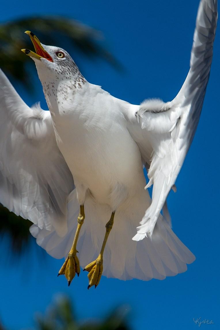 In Flight Ring-billed Gull