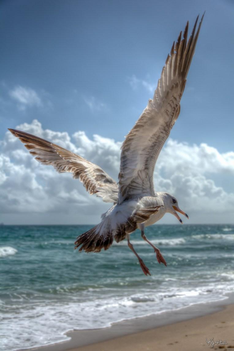 Ring-billed Flight