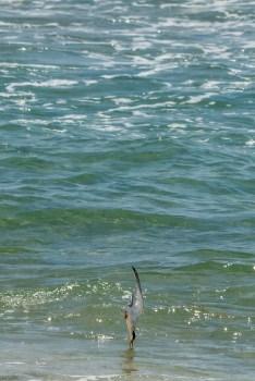 A Catch By Tern II
