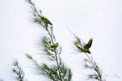 Blue-Crowned Parakeet 5