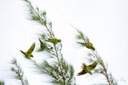 Blue-Crowned Parakeet 3