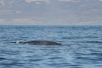 På denna bild ses blåvalens typiska, spräckliga blågrå teckning och, längst till vänster, blåshålet.