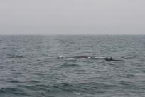 På denna bild syns drygt hälften av blåvalens längd. Denna individ är kanske 20–25 meter, men blåvalar kan bli över 30 meter långa och väga upp till nära 200 ton.