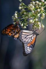 Queen Butterfly