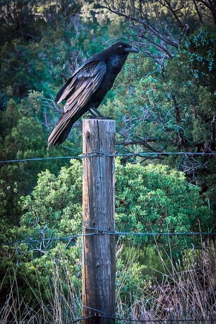Raven On Fence Post (1 of 1)-2 blog