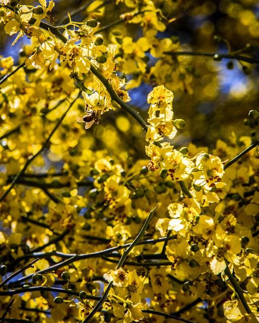 Palo Verde Blossoms (1 of 1)-2 blog