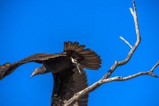 turkey-vulture-1-of-1-16-blog