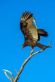 turkey-vulture-1-of-1-19-blog