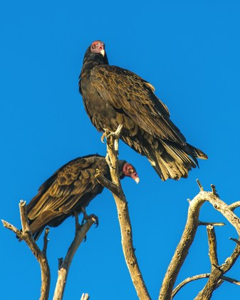 turkey-vulture-1-of-1-9-blog
