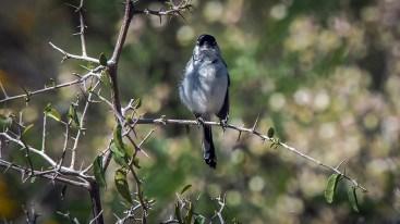 Black-capped Gnatcatcher-1089 blog