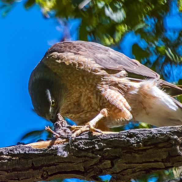 Cooper's Hawk-1249 blog