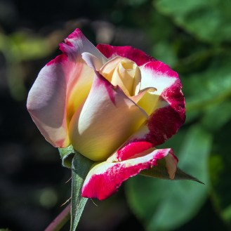 Rose-1955 blog