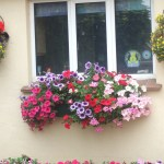 Window box and hanging baskets
