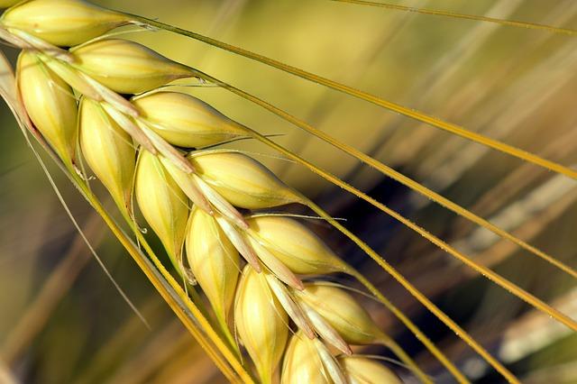 黄色い穀物