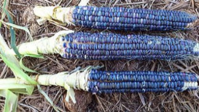 青色食べ物 トウモロコシ