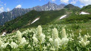 山の花の記憶 ①コバイケイソウ