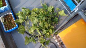 水耕栽培 きゅうり 取った葉っぱ
