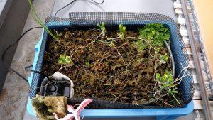 【水耕栽培】ネギの植え替え 自作