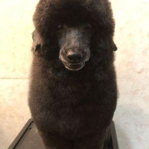 .【出張トリミング】☆ロイくんロイくんは久しぶりにアルパカカットでーす!前回は毛の表面全部整えたんですけど、今回はほわほわっとしてる方がアルパカっぽくて可愛いな〜と思ったので、あえて顔周りと胸はほとんど触らずに置いてみました^^.今日もありがとうございます♡#dogofthedayjp #dogoftheday #instagramdogs #dogstagram #出張トリミング #出張トレーニング#トリミング教室 #トリミング#grooming #犬のしつけ#お家でトリミング #トリミングの仕方#シニア犬 #ママミング #パパミング#シニア犬 #ママミング #パパミング#いぬ部#大阪 #奈良 #兵庫 - Instagram更新しました!