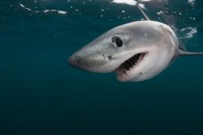 Porbeagle shark (Lamna nasus) captive, Nova Scotia, Canada, image digitally manipulated
