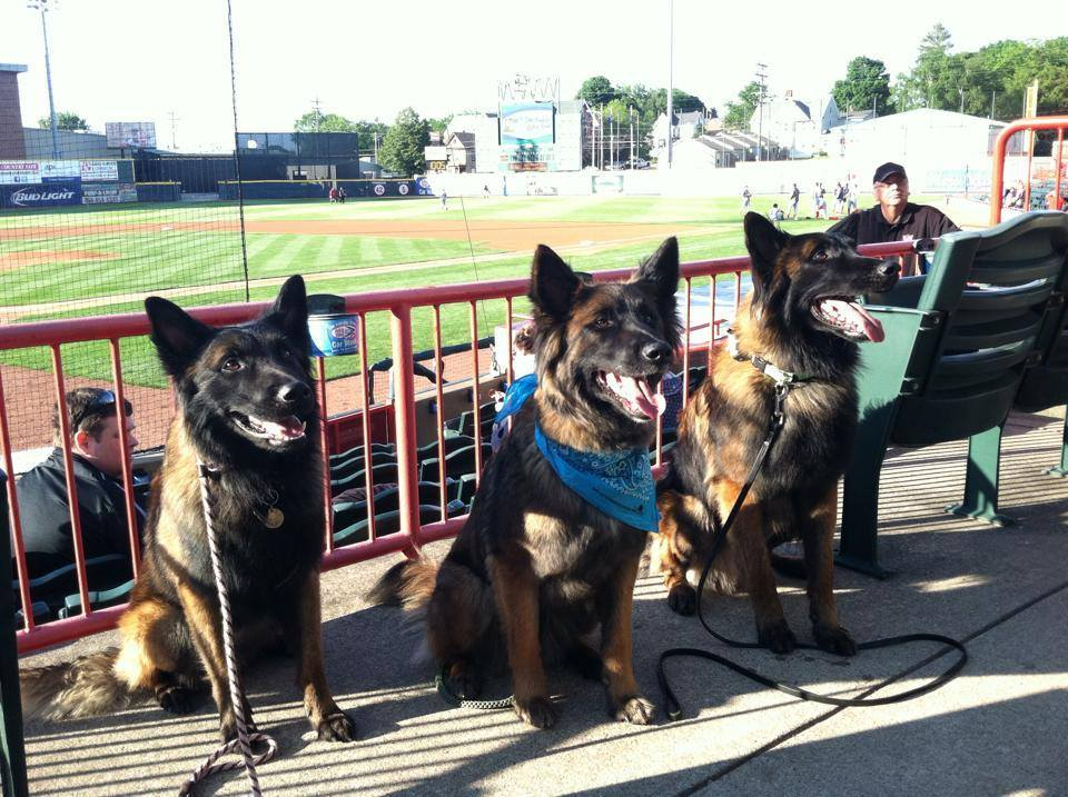 belgian shepherds