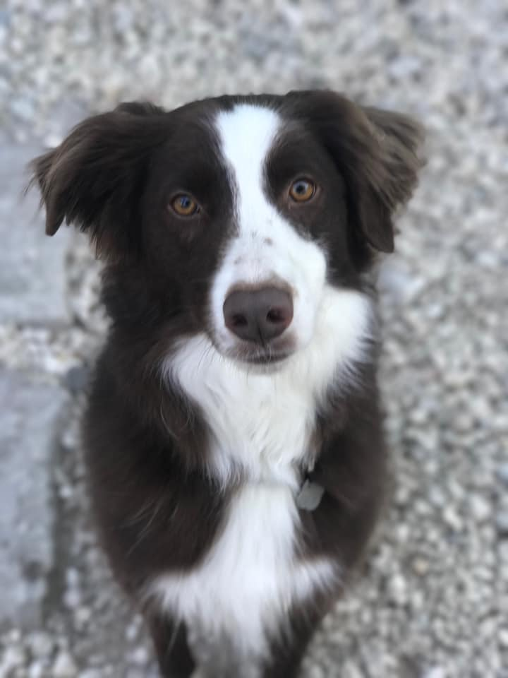 Beau the Australian Shepherd