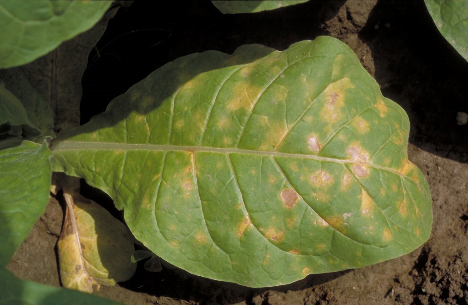 Differentiating Foliar Diseases On Tobacco