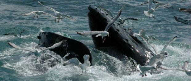 Wild beauty - a feeding whale.