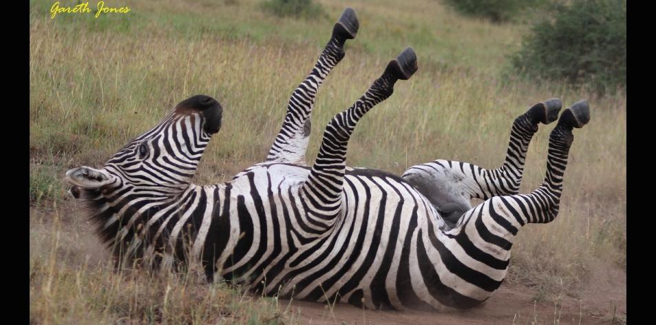 "Zebra ""On The Roll""- Article by Gareth Jones"