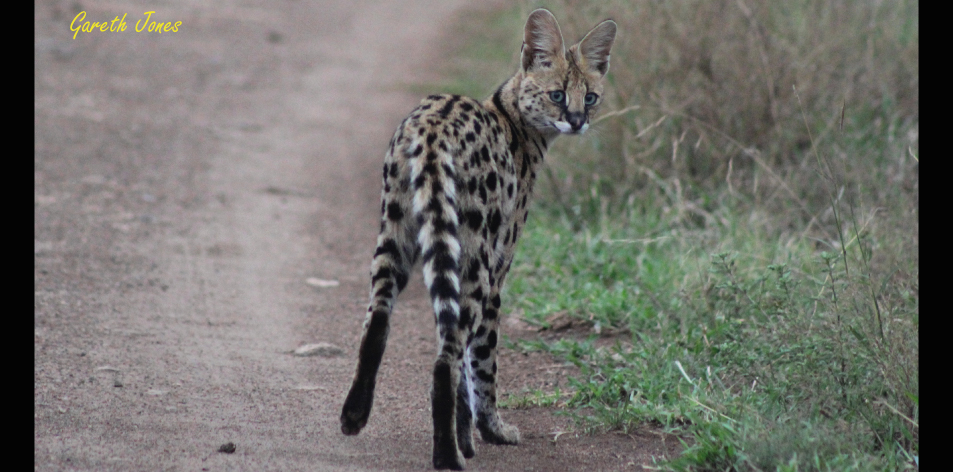 A Serval Morning – Article by Gareth Jones