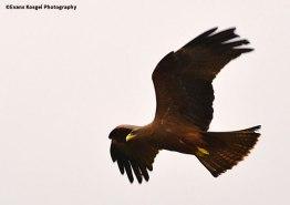 A-Focused-Balck-Kite