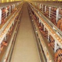 Schools, Colleges & Universities offering Certificate Higher Diploma and Diploma in Poultry Farming & Management Course in Kenya Intake, Application, Admission, Registration, Contacts, School Fees, Jobs, Vacancies