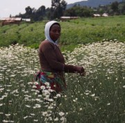 Pyrethrum Farming in Kenya: Extract, Price, By Products, Fertilizer, Pests