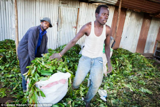 Wealth: International distribution of Khat is worth millions and run by individual Somali-Kenyan multimillionaires