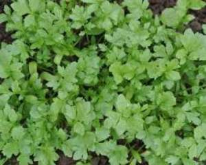 Cress on Healthiest Foods In The World List