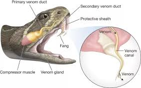Difference Between Poisonous And Venomous