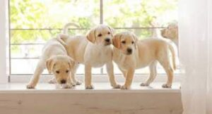 Labrador Retriever one of the Top 10 Best Dog for the Family.