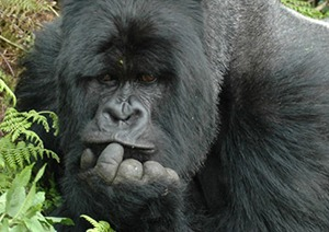 3 Days Uganda Gorilla Safari Tour to Bwindi
