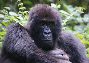 4 Days Uganda Gorilla Safari Bwindi & Mburo