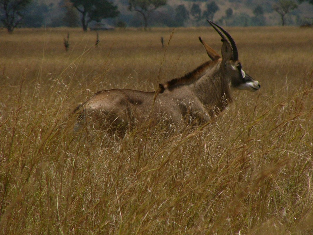 Wild game in Ruma National Park